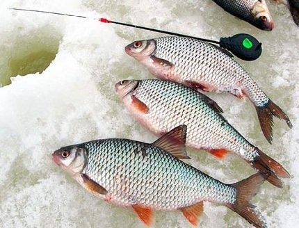 Ловля плотвы зимой – описание рыбалки, фото и видео
