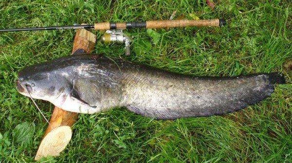 Ловля сома – описание рыбалки, фото и видео