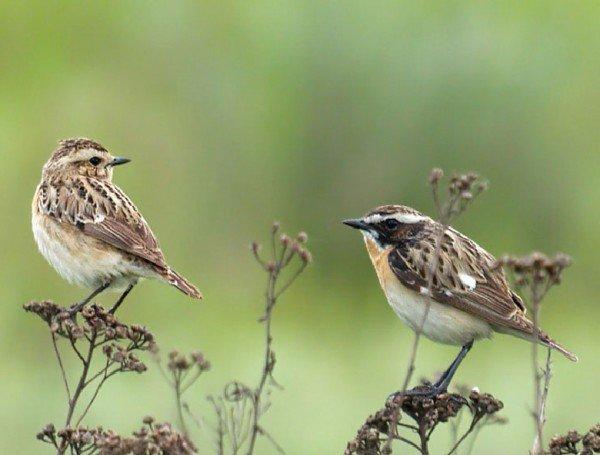 Луговой чекан — описание птицы, фото и видео