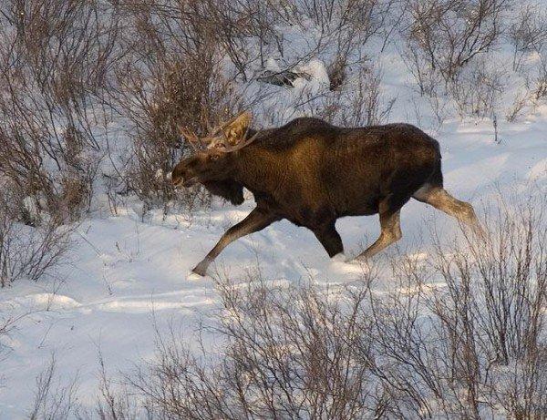 Охота на лося – описание, фото и видео