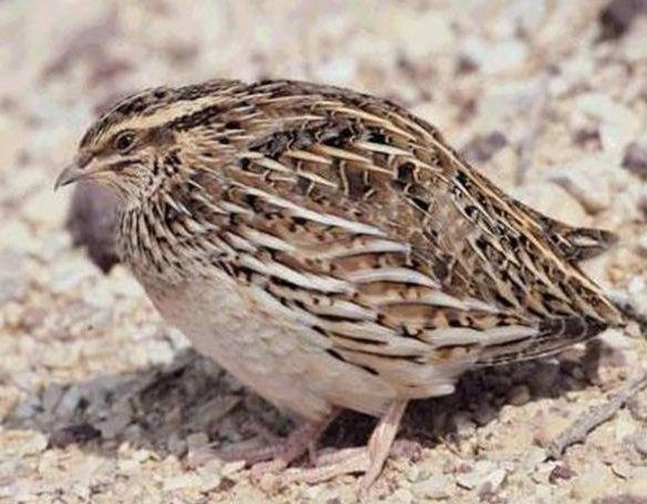 Перепел – описание птицы, фото и видео