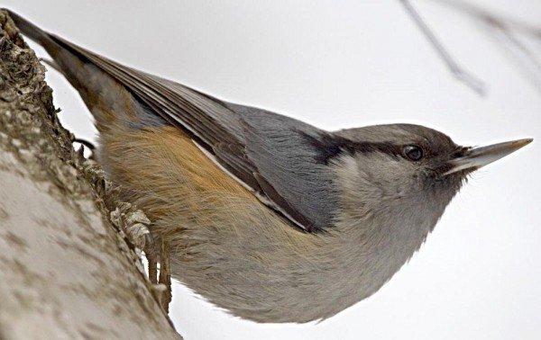 Поползень – описание птицы, фото и видео