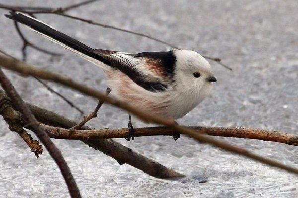Синица длиннохвостая – описание птицы, фото и видео