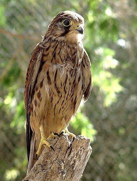 Сокол пустельга – описание птицы, фото и видео