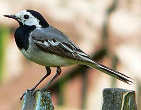 Трясогузка белая – описание птицы, фото и видео
