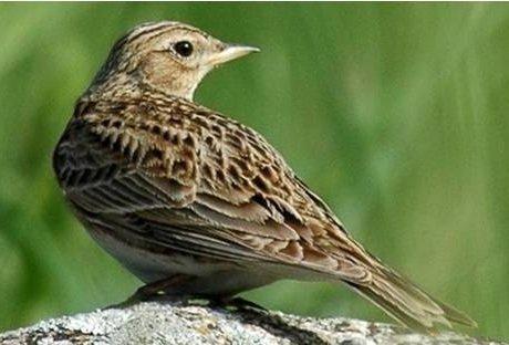 Жаворонок полевой – описание птицы, фото и видео