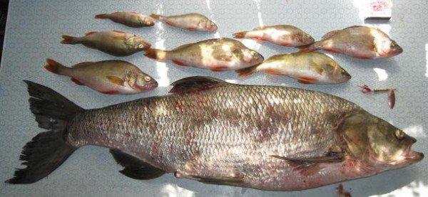 Жерех – описание рыбы, фото и видео