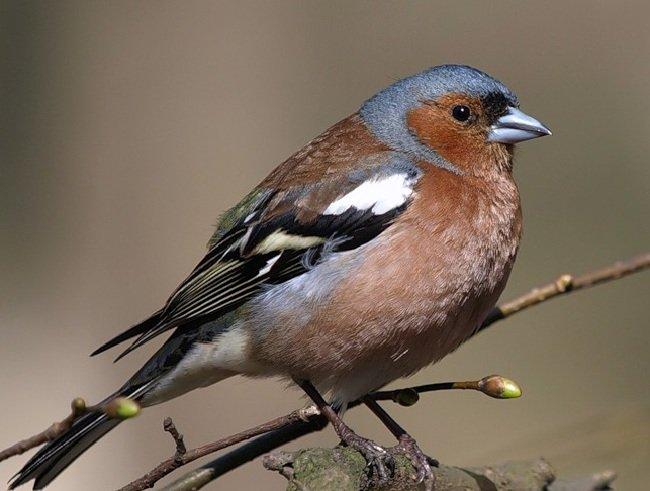 Зяблик – описание птицы, фото и видео