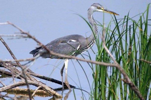 Цапля серая – описание птицы, фото и видео