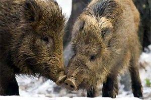 Дикий кабан – описание животного, фото и видео
