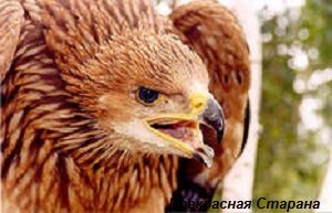 хищные птицы фото и описание