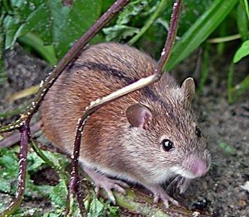 Полевая мышь – описание зверька, фото и видео
