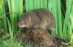 Обыкновенная полевка – описание мышки, фото и видео