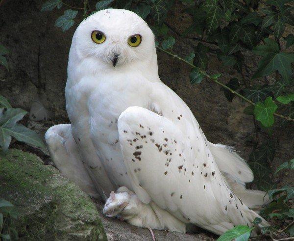 Белая сова – описание птицы, фото и видео