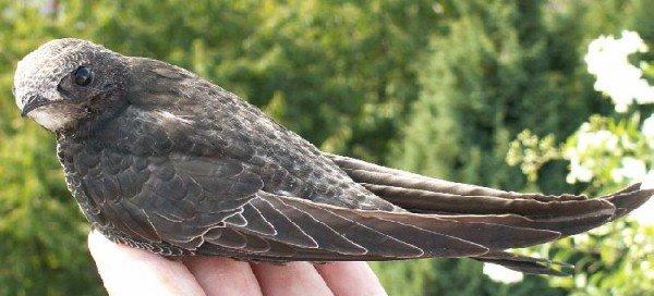 Черный стриж – описание птицы, фото и видео