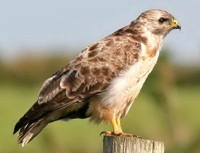 Канюк – описание птицы, фото и видео