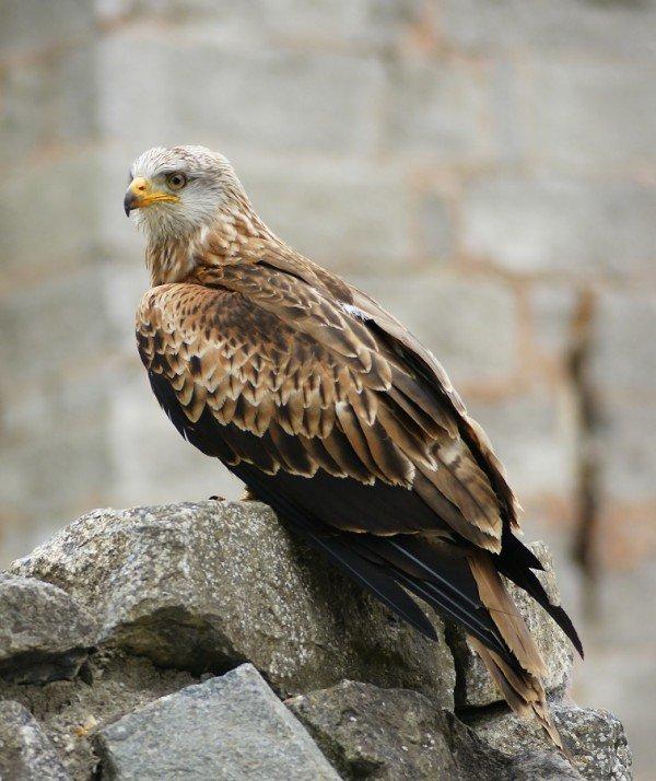 Коршун – описание птицы, фото и видео