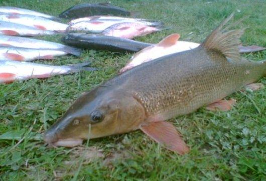Ловля усача – описание рыбалки, фото и видео
