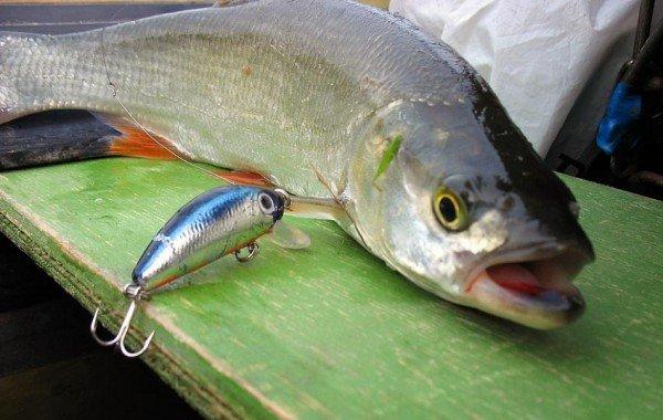 Ловля жереха – описание рыбалки, фото и видео
