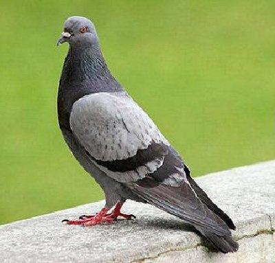 Сизый голубь сизарь – описание птицы, фото и видео