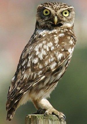 Сыч домовой – описание птицы, фото и видео