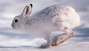 Заяц беляк – описание зверька, фото и видео