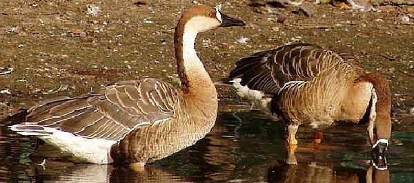 Гуси дикие – описание птиц, фото и видео