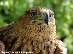 Орел-могильник – описание птицы, фото и видео