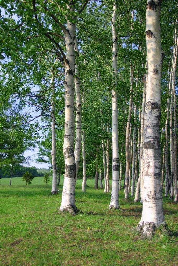 Берёза белая – описание дерева, фото и видео