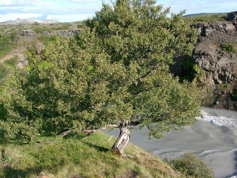 Берёза пушистая – описание дерева, фото и видео