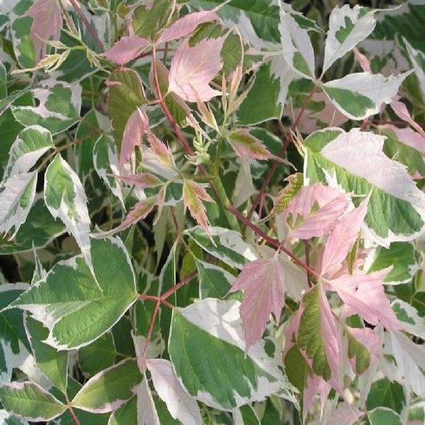Клён ясенелистный – описание дерева, фото и видео