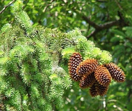 Ель – описание дерева, фото и видео