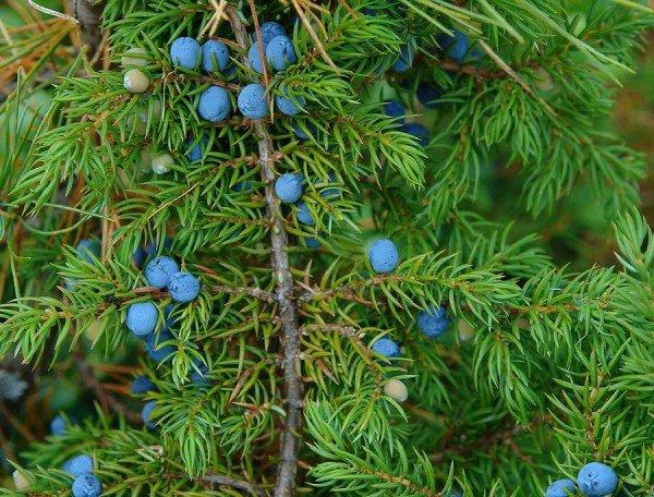 Род Можжевельник – описание деревьев, фото видео