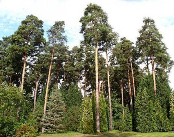Сосна обыкновенная – описание дерева, фото и видео