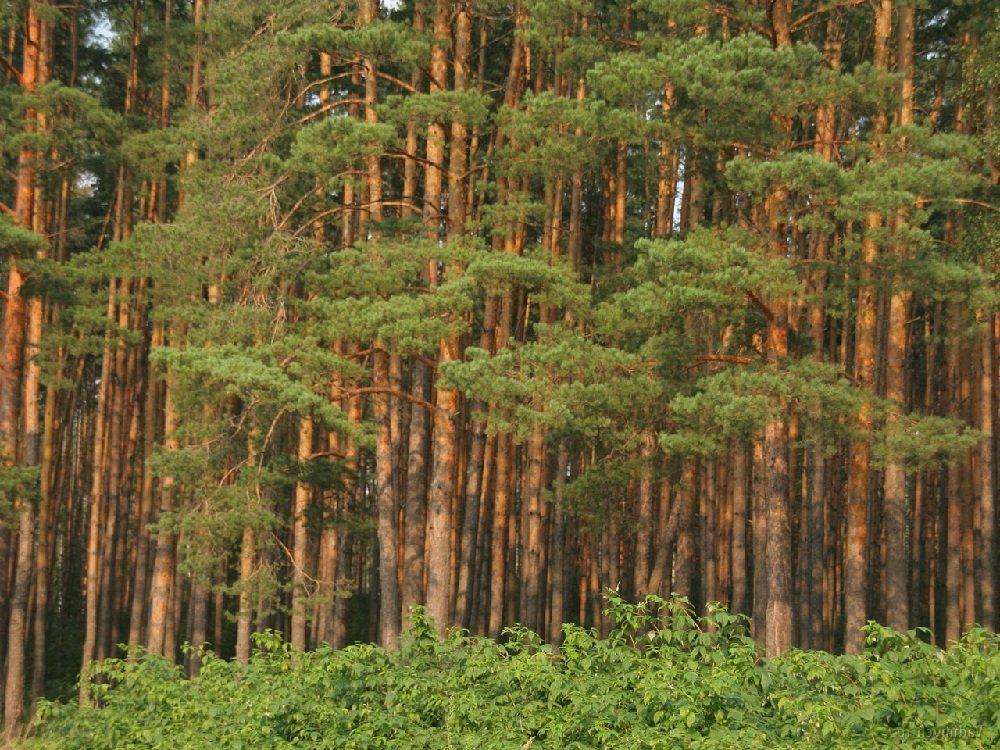 Сосна уникальное дерево России