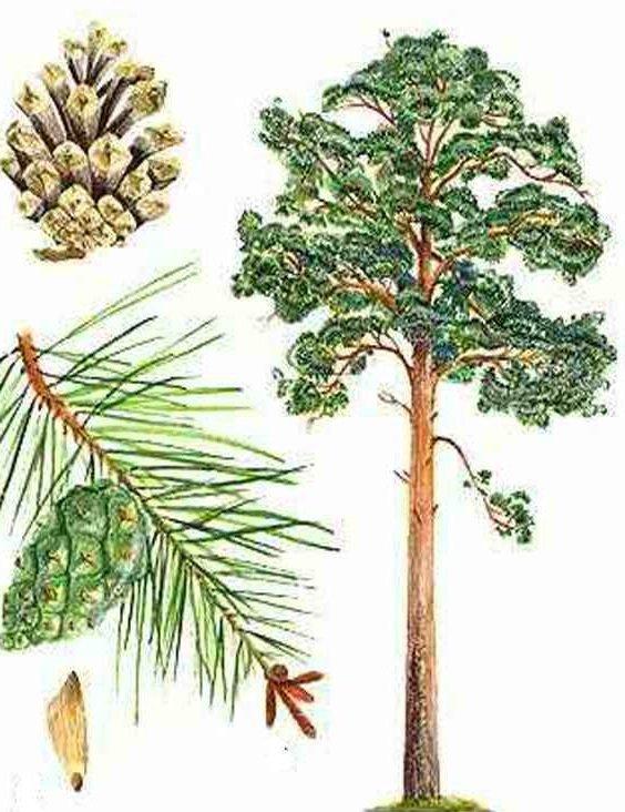 Как сделать хвойное дерево 375