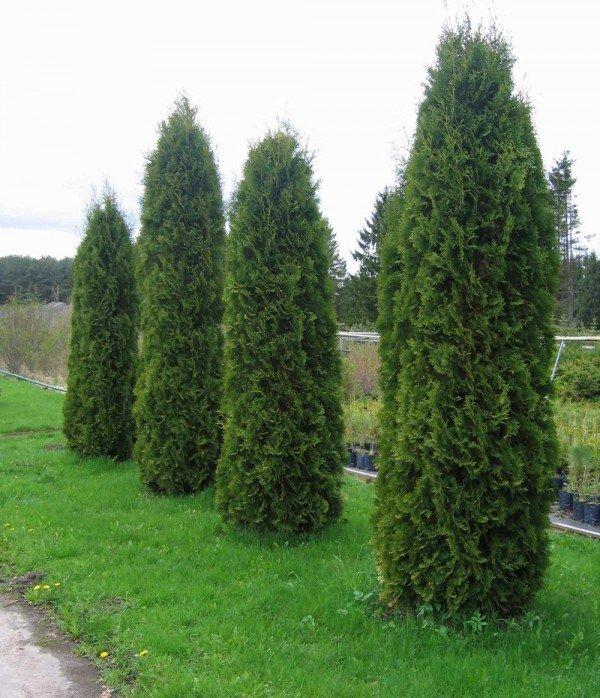 Туя – описание дерева, фото и видео