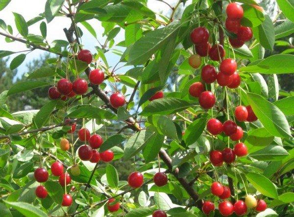 Вишня обыкновенная – описание дерева, фото и видео