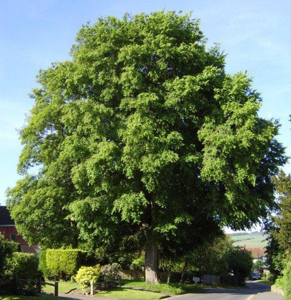 Вяз ильм – описание дерева, фото и видео