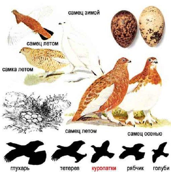 Тетеревиные и фазановые