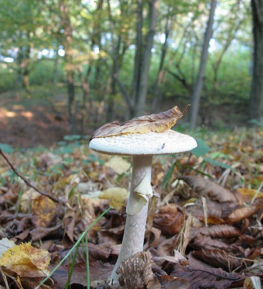 Бледная поганка – описание гриба, фото и видео