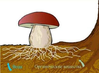 Чем питаются грибы