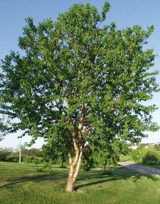 Черемуха маака – описание дерева, фото и видео