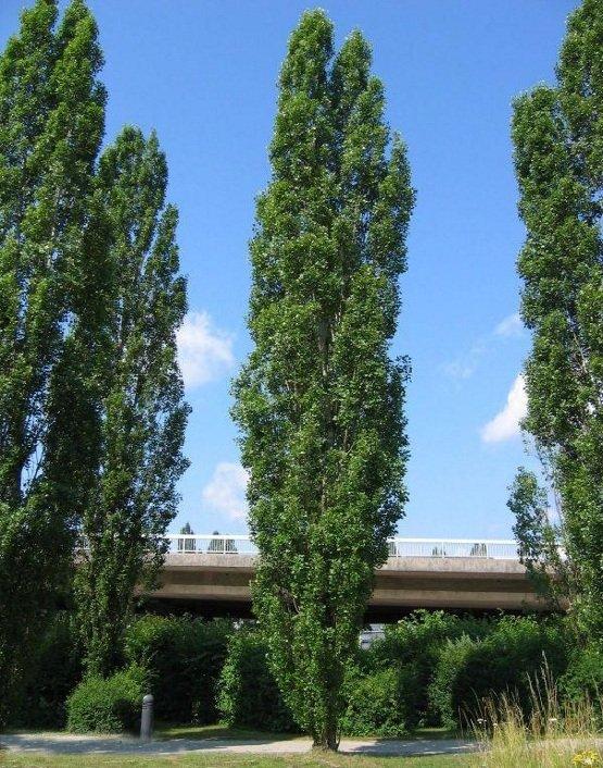 Черный тополь – описание дерева, фото и видео