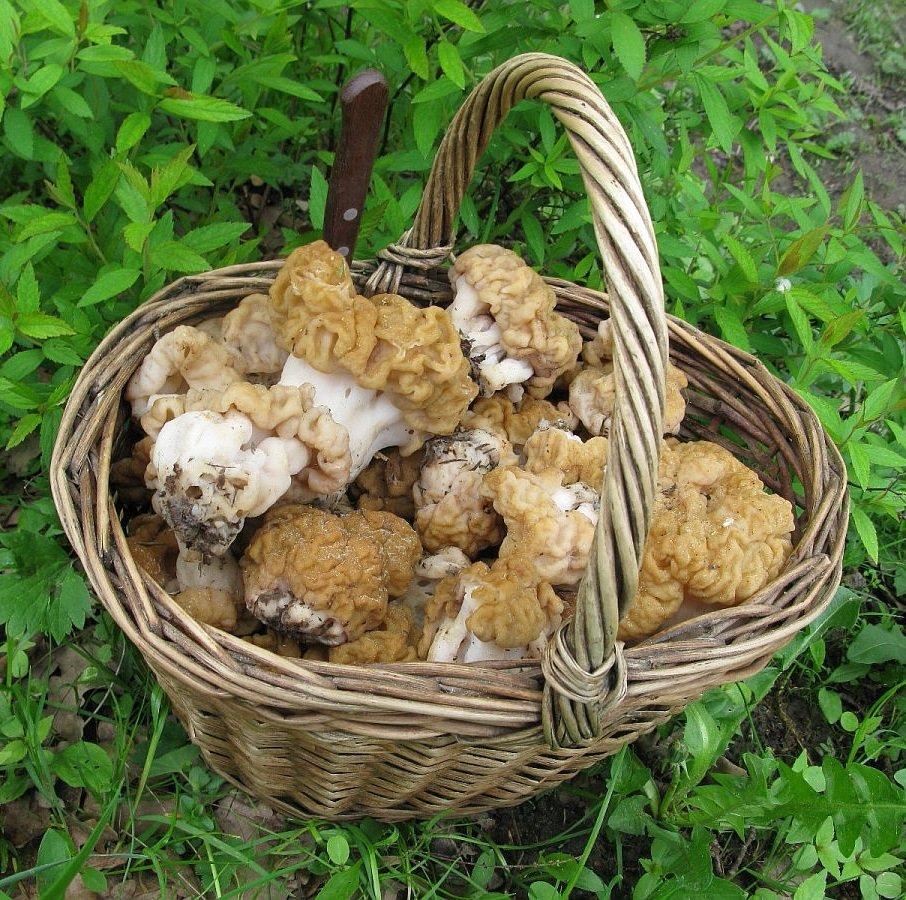 Гриб строчок – описание гриба, фото и видео