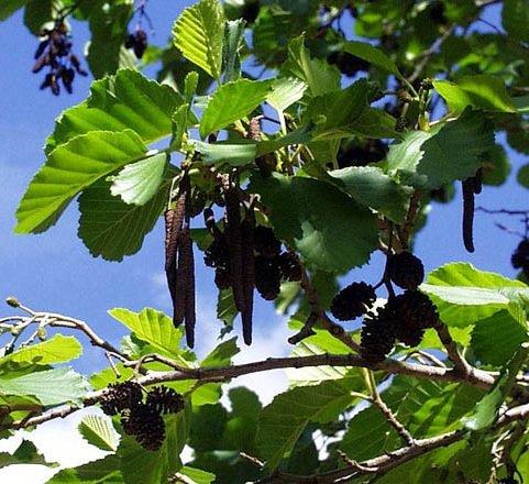 Ольха чёрная – описание дерева, фото и видео