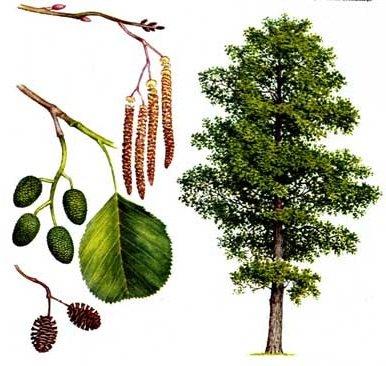 Ольха – описание дерева, фото и видео