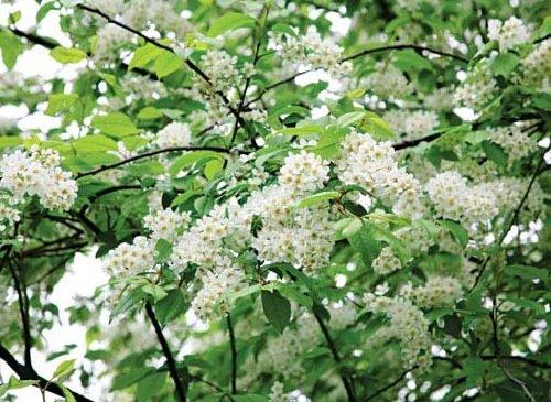 Род черемуха – описание деревьев и кустарников, фото и видео
