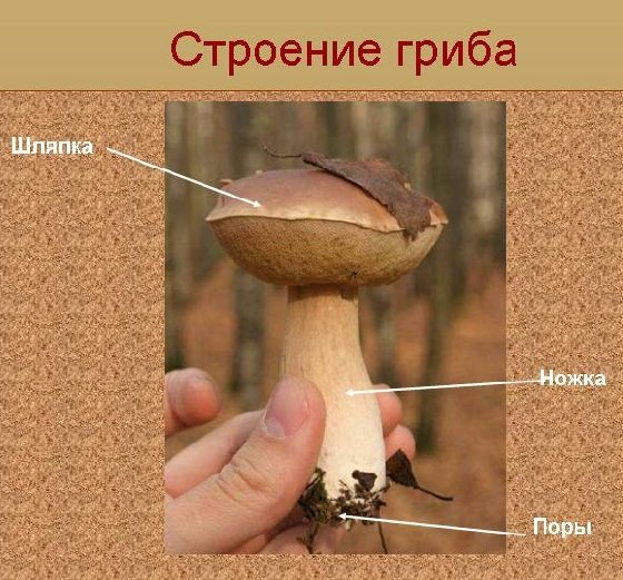Строение грибов описание фото и видео