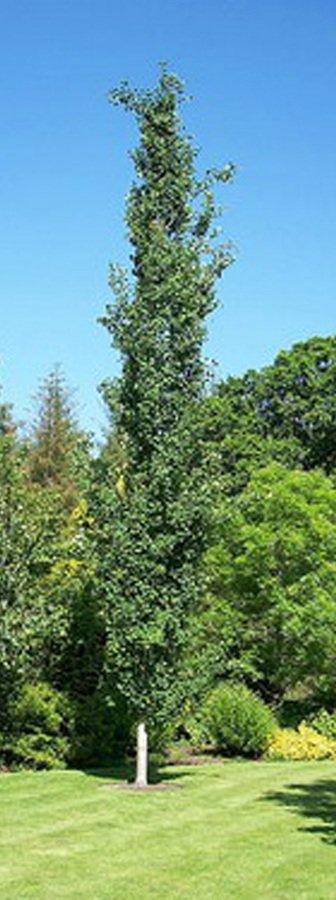 Тополь дрожащий или осина
